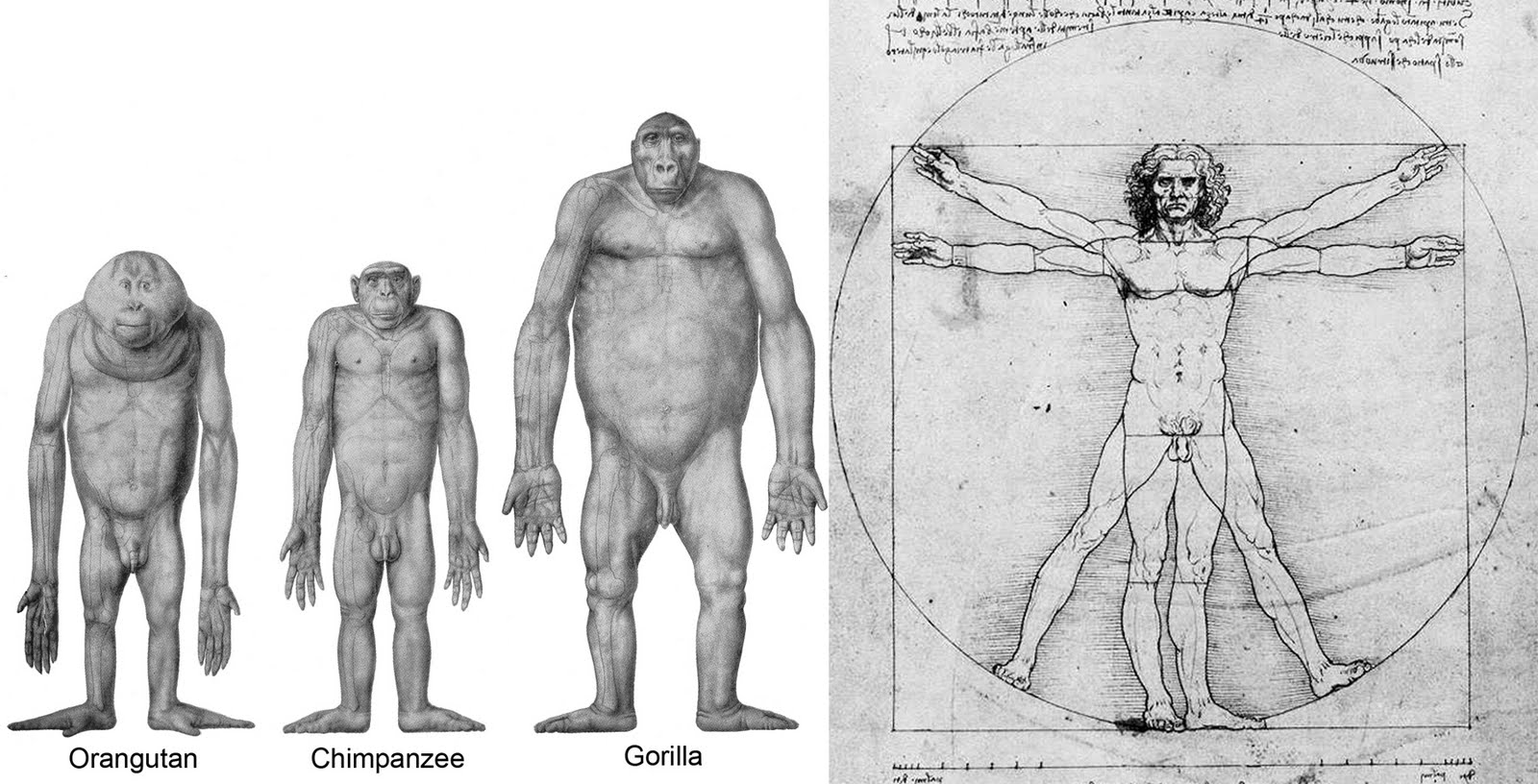 Composite of drawings by Adolph Schultz and DaVinci for Aaron Filler's concept of the 'four great hominiforms' explained in The Upright Ape by Aaron G. Filler.
