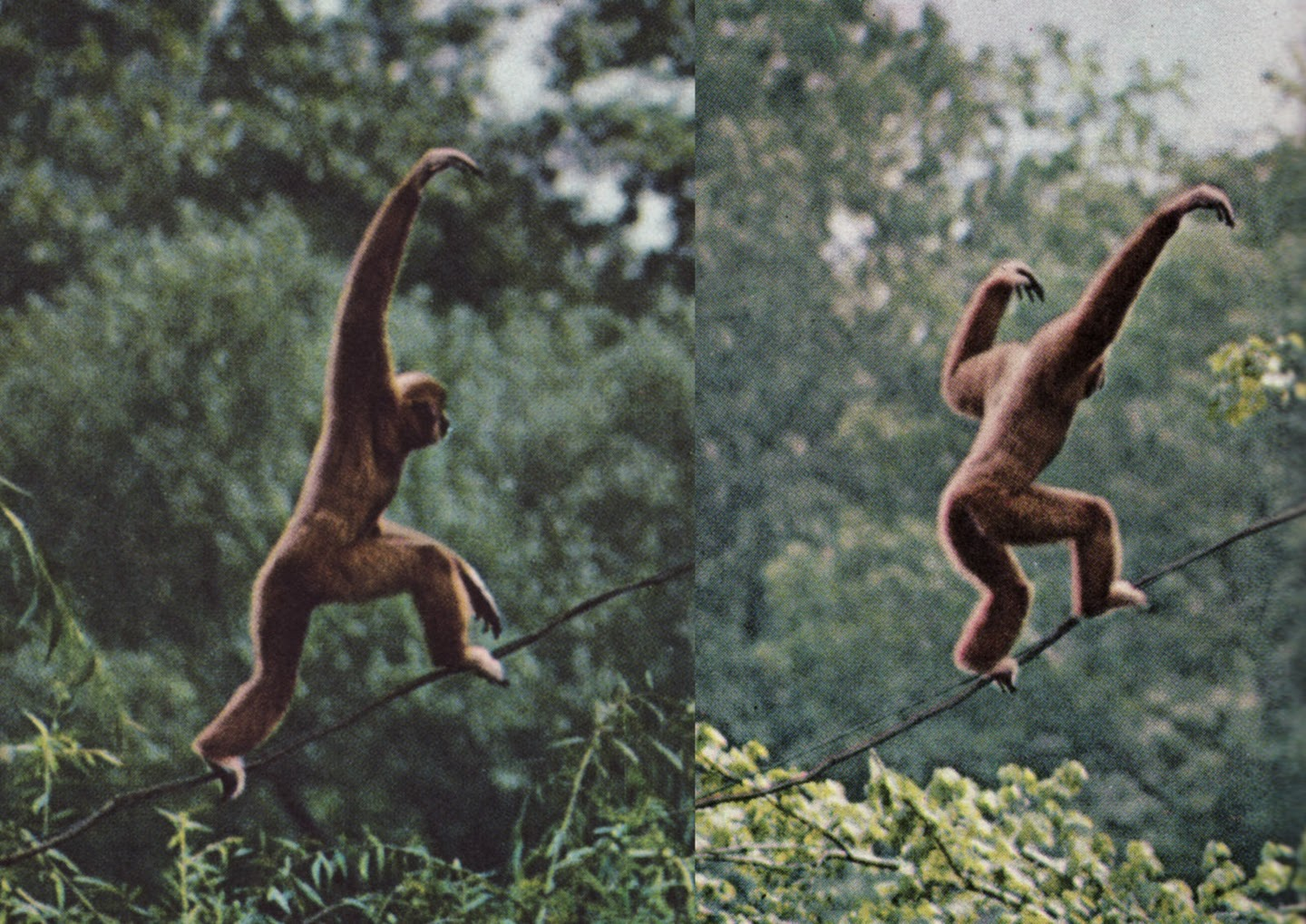 Hylobatid bipedalism (photo by Nina Leen) is explained in the framework of Aaron Filler's book, The Upright Ape.